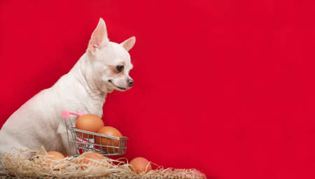 A chihuahua dog sits next to a shopping cart containing chicken eggs and a red background behind it. There is a decorative nest with eggs nearby.