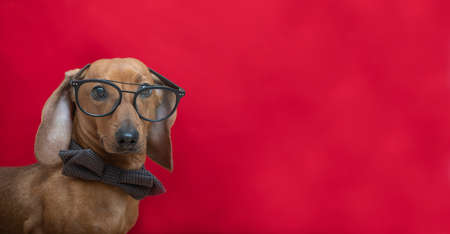A dachshund dog in a stylish bow tie looks attentively at the camera through glasses. Red-haired smart dachshund posing on a red background in a photo studio. Foto de archivo