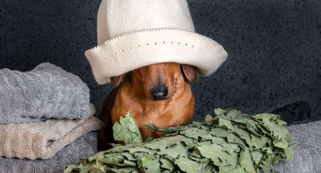 Dachshund sits by a stack of towels with a bath cap pulled down over his eyes, and an oak broom lies next to it. Red-haired dog looks attentively at the camera in a Russian bath on a black background.