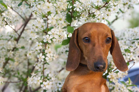 Red-haired dachshund dog among the branches of a blossoming white apple tree in the garden while walking. The dog poses romantically against the backdrop of a blooming garden.