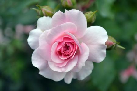 roses in the garden: gentle rose