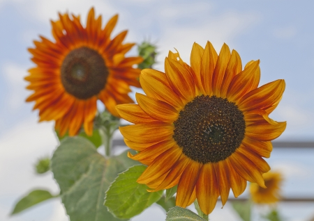Red sunflowers on sky background