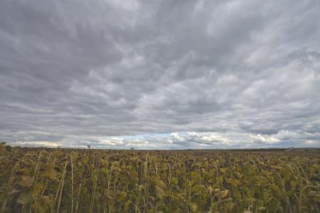 The autumn sky over the sunflowers Stock Photo