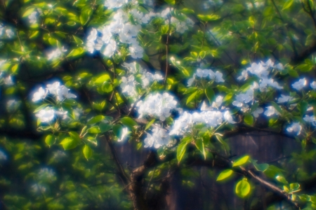 Flowers of wild apple trees photographed through a monocular