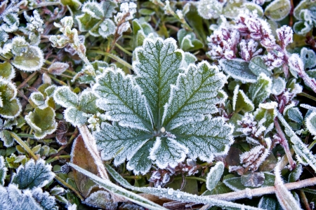 frost on the leaves and grass