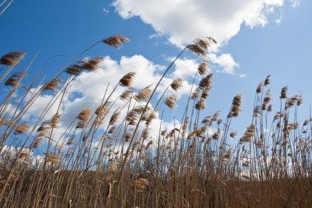 The dry reeds in the wind