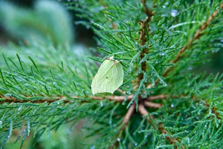 A butterfly on a branch of pine trees in the rain Stock Photo