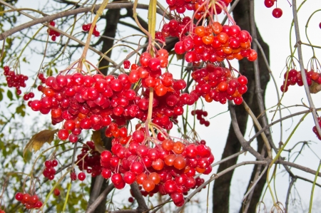 Ripe bunches of red viburnum