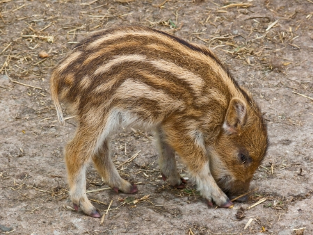 Small striped pig on the ground Stock Photo