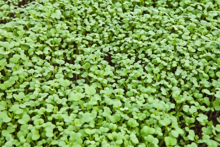 Young shoots of mustard on the ground Stock Photo