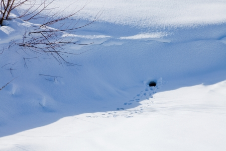 burrow: Traces of the animal to burrow in the snow