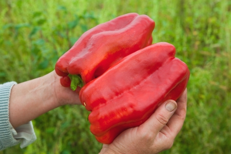 Two peppers in the hands of the farmer Stock Photo
