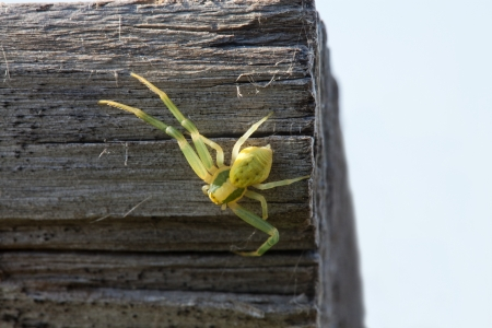 Green spider in an old log close-up