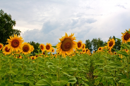 Many in the field of sunflowers