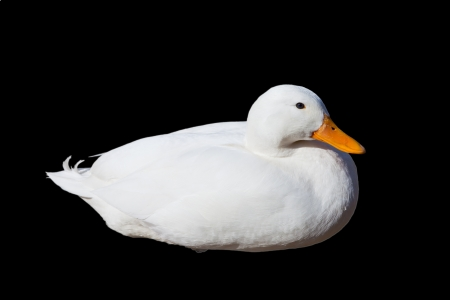 A white duck on a black background