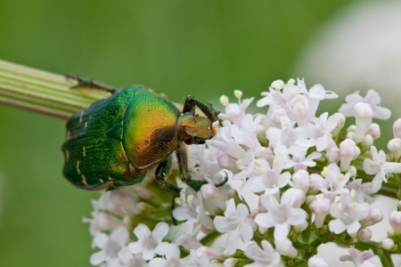 Green beetle sitting on a white flower Stock Photo