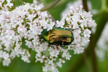 Chafer sits on a white flower