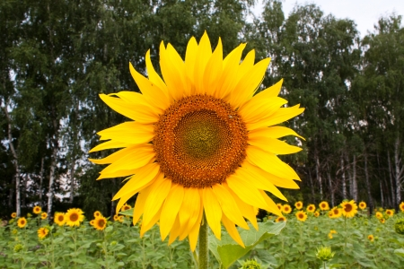 Large sunflowers on a background of sunflower fields and forests photo