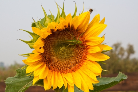 Locusts and bees are sitting on the sunflower Stock Photo