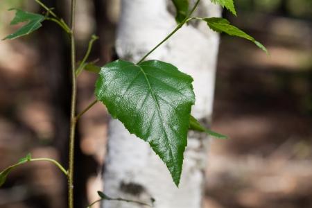Birch leaves against a birch trunk