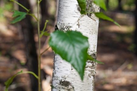 Birch trunk of a birch leaf