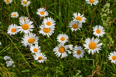 Chamomile and yarrow in a meadow Stock Photo - 14769261
