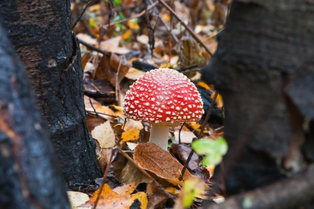 Poisonous mushrooms growing in the forest
