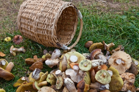 Mushrooms and a basket on the grass