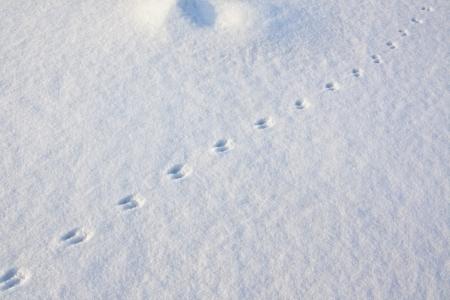 animal tracks: Le tracce degli animali sulla neve