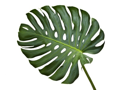 Monstera leaf on a white background