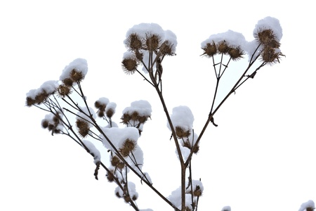 Dry branch thistles under snow