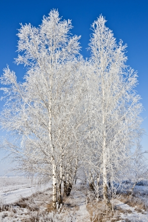 Birches covered with hoar frost on the background of blue sky