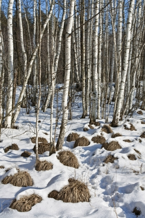 thawed: First thawed patches in spring in birch forest