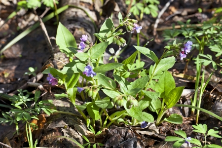 Lungwort blooming in the sunlight, in a forest glade photo