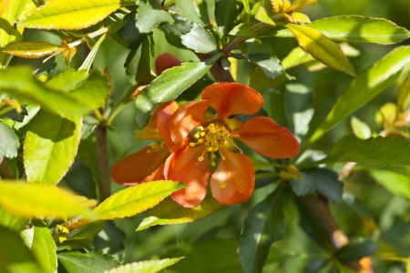 Flowers quince, photographed close up