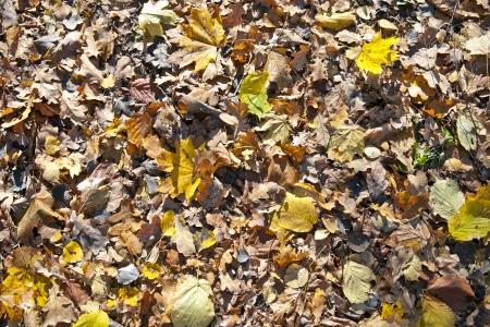 hojas secas: Hojas secas de color amarillo y la hierba en el suelo
