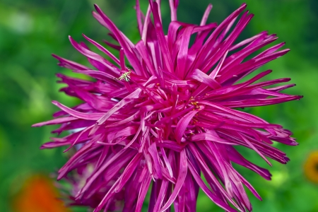 violette fleur: Araign�e vert avec des rayures noires sur une fleur violette Banque d'images