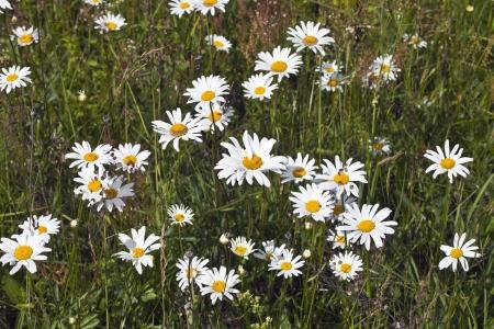 campo de margaritas: Margaritas de campo y la hierba verde en el prado