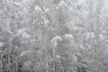 Branches of birch covered with snow Stock Photo