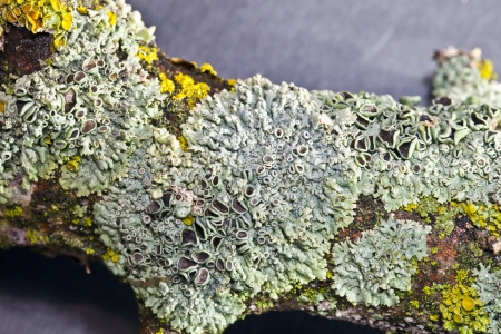 Colorful lichens on a branch photographed close up Stock Photo