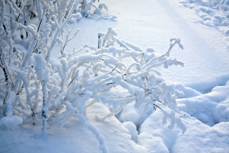 Shrub branches covered with snow illuminated by the low sun