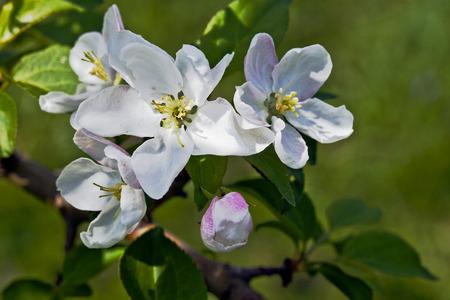 arbol de manzanas: Flores blancas y yemas de color rosa en las ramas de un �rbol de manzanas Foto de archivo