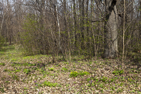 Meadow with flowers in the deciduous forest in the early spring