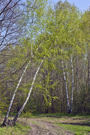 Curve birch hung over a dirt road in the spring in the forest Stock Photo