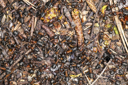 anthill: Anthill with large black ants, photographed close up