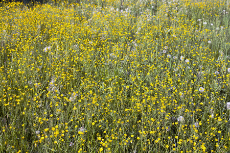 yellow wildflowers: Small yellow wildflowers and dandelions on a green meadow Stock Photo