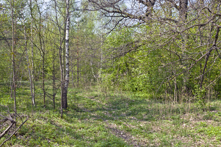 deciduous forest: Old overgrown path in the deciduous forest in sunny spring weather