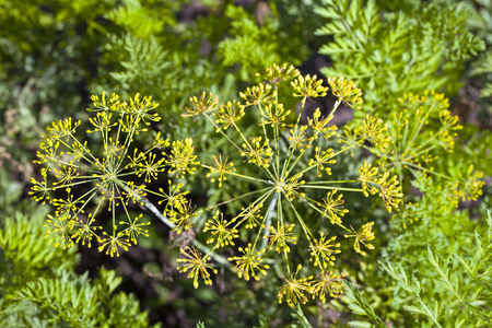 fennel seeds: Green fennel seeds in the inflorescence, photographed close up