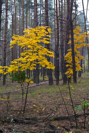 Maples with yellow leaves in autumn in pine forest