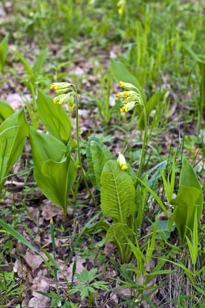 Blooming primrose and lily leaves on the forest floor Stock Photo